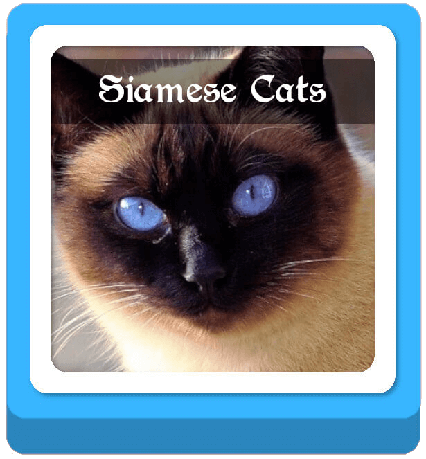 siamese warrior cat names